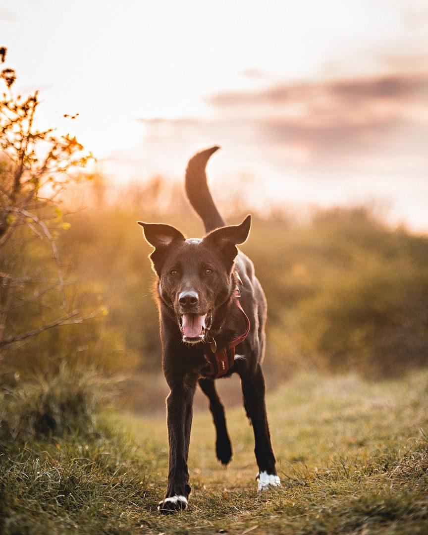 Benny dog portrait